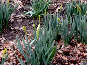 Daffodils soon
